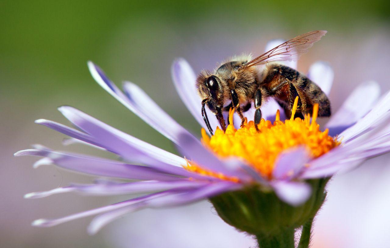 flor y abejas polinización