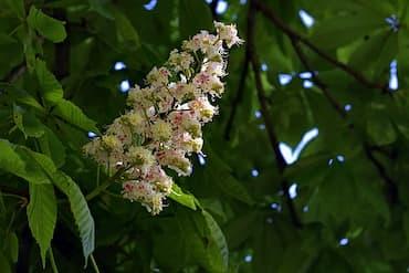 flor del árbol castaño
