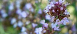 néctar flor de tomillo
