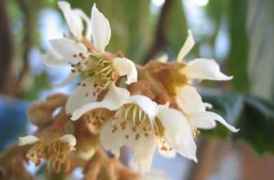 flor níspero polen